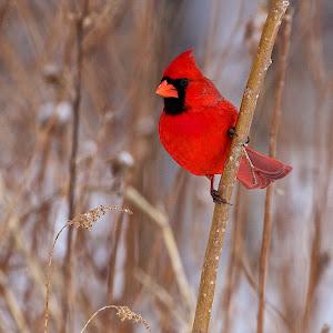 Cardinal  119.jpg