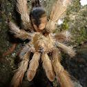 Panama Blonde Tarantula