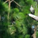 Northern mockingbird, sub-adult