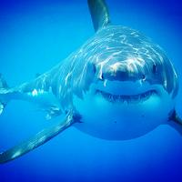 Shark 1.0