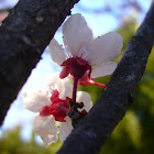 cerezo (flor)