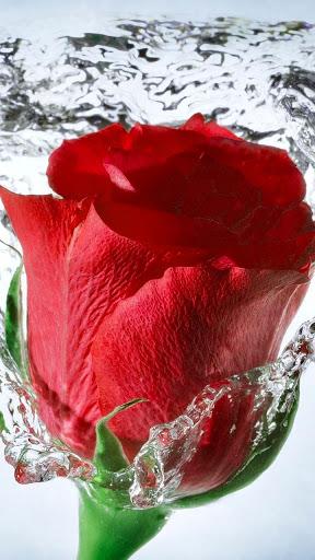 红玫瑰动态壁纸
