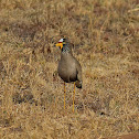 African wattled lapwing/plover