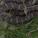 Huge female northern watersnake