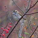 White throated Sparrow - tan striped form