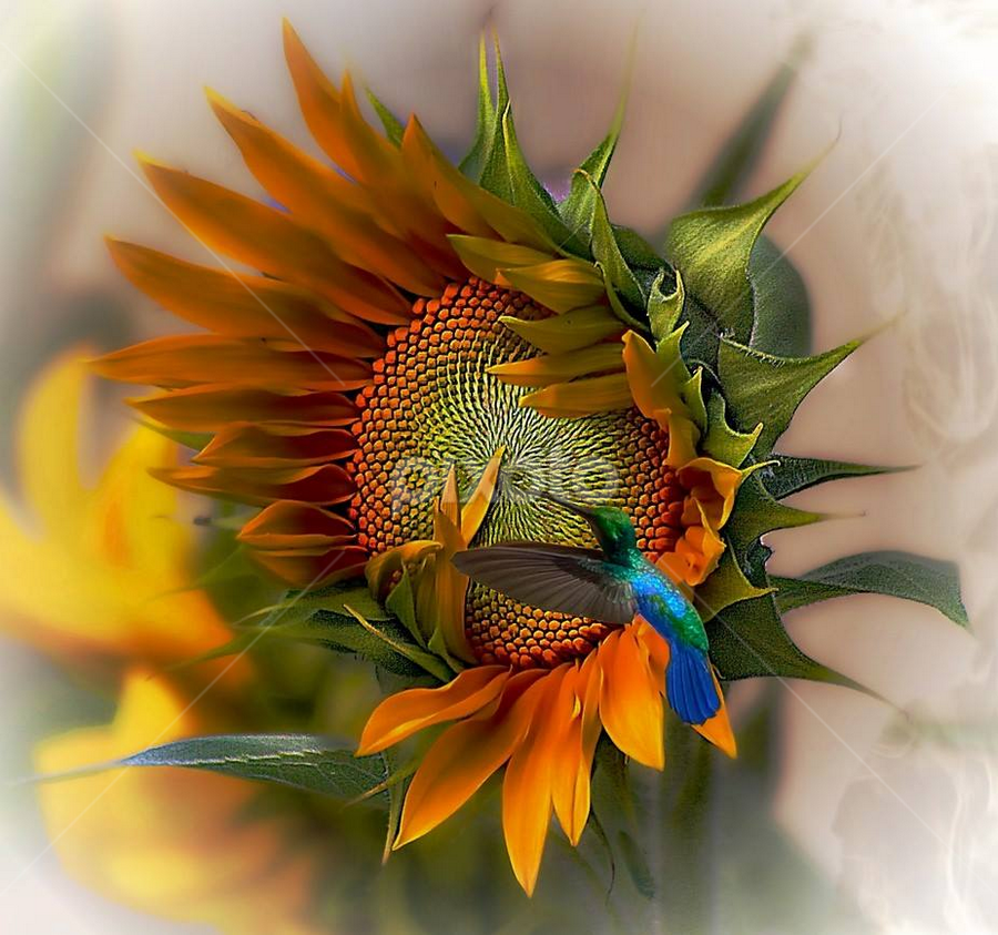 a moment in time by John Kolenberg - Uncategorized All Uncategorized ( jardine, mexico, hummingbird, sunflower, garden, girosol, hope,  )