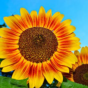 Dueling Sunflowers by Steve Friedman - Flowers Flower Gardens ( sunflower yellow orange flower, Hope,  )