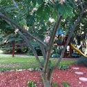 Mimosa, Persian Silk Tree
