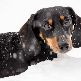 Gary Dog by Kim Verstringhe - Animals - Dogs Portraits ( winter, dachshund, snow )