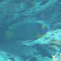 Yellow Mask Angelfish