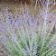 Lavender wildflower