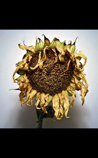 Dead Sunflower Live Wallpaper
