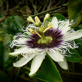 Passionflower by Siggy In Costa Rica - Flowers Single Flower ( frilly, purple, passiflora, white, flower,  )