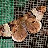 Geometridae-Ennominae