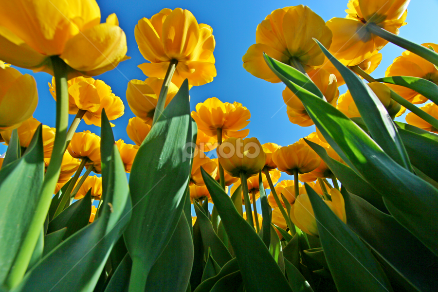by Dipali S - Flowers Flower Arangements ( spring colorful flowers, tulipa, nature, flora, outdoors, tulip, perspective, yellow, flowers, springtime, spring )