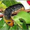 Oleander Hawk Moth (Pre-pupal Larva)