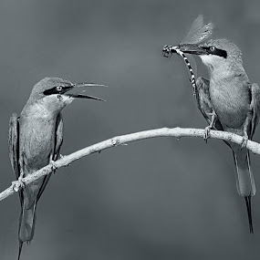 Can U have this?? by Prasanna Bhat - Black & White Animals ( wild, maing, feeding, display, bee-eater )