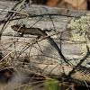 Viviparous lizard, sisilisko