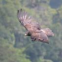 林鵰 / Black Eagle