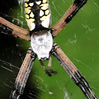 Black and yellow garden spider (immature female)