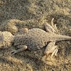Laungwala Toad-Headed Lizard