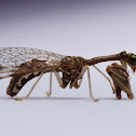 Mantispidae