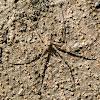 Long-spinnered Bark Spider