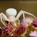 Goldenrod Crab Spider
