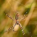 Araña Argiope