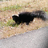Striped skunk, but no stripes.