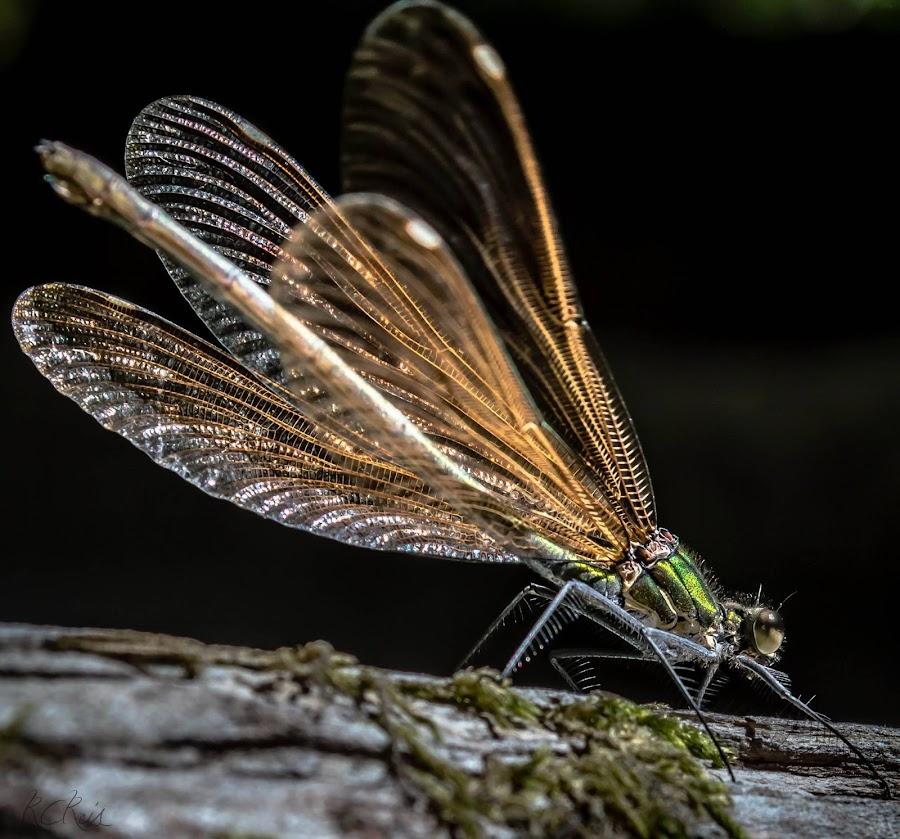 http://rcreis.zenfolio.comhttp://rcreis.com©RCReis by Rolando Reis - Animals Insects & Spiders (  )