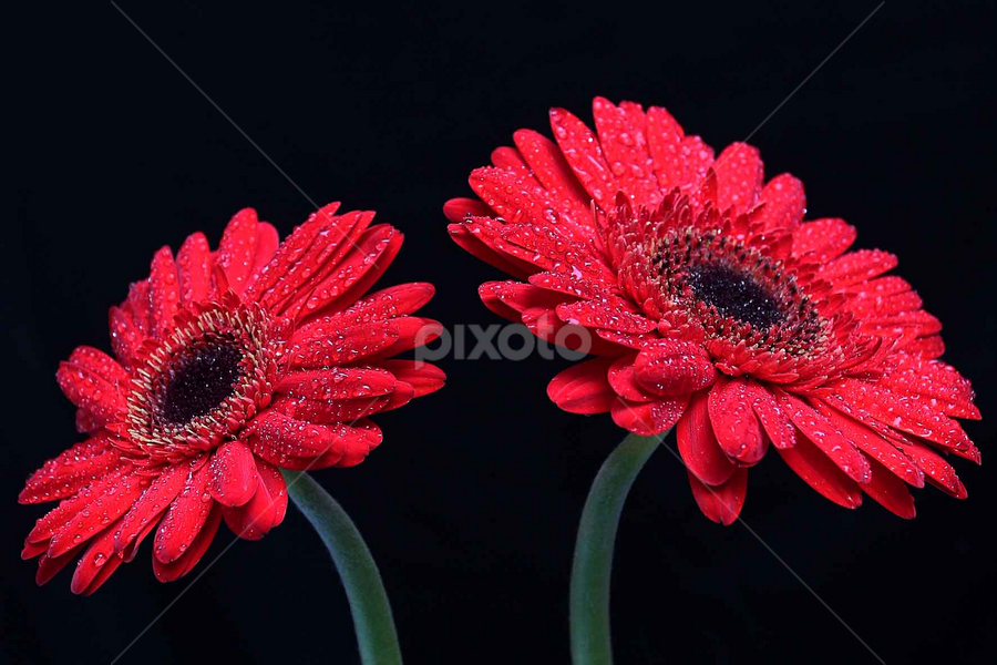 by Arief Setiawan - Flowers Flower Gardens ( flower red nature )