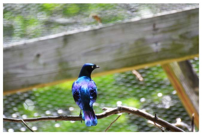 Glossy-starling