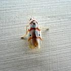Red stripped tiger moth