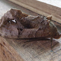Bat-mimic Moth
