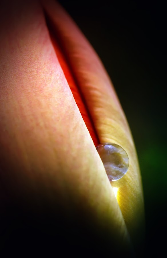 secrecy by BO LED - Nature Up Close Natural Waterdrops ( erotic, water, macro, red, nature, drop, tulip, natural, spring, flower )