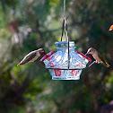 Black Chinned Hummingbird male, female