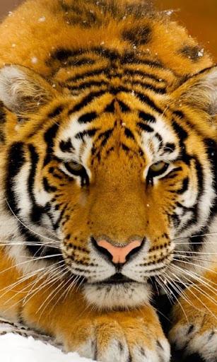 Tiger Wallpapers HD