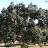 Kermes oak