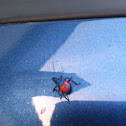 Florida Predatory Stink Bug (nymph)