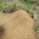 Western Harvester Ant