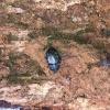 Dark beetle