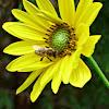 Bee-Jerusalem artichoke