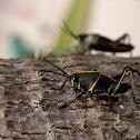 Southern Lubber Grasshopper (Nymph)