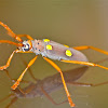 Ivory-Spotted Longhorn