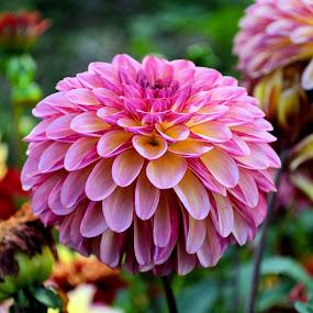 Pink dahlia by Heather Aplin - Flowers Flower Gardens ( autumn, petals, fall, pink, garden, dahlia,  )