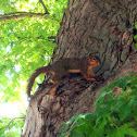 fox squirrel (or eastern fox squirrel, Bryant's fox squirrel