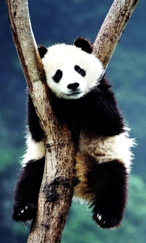 Panda Wallpaper APK Latest Version Download
