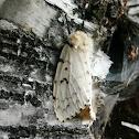 Gypsy Moth (Female)