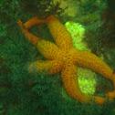 Estrella de mar naranja